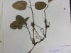 Epigaea repens (Trailing Arbutus)