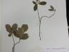 Gaultheria procumbens (American Wintergreen)