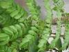 Caesalpinia pulcherrima (Pride of Barbados)