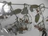 Clematis terniflora (Sweet Clematis)