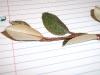 Elaeagnus pungens (Silverthorn)