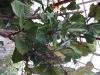 Ficus lyrata (Lyre Leafed Ficus)