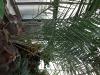 Phoenix dactylifera (Phoenix Palm)