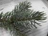 Picea pungens (Colorado Blue Spruce)