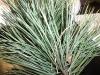 Pinus nigra (Black Pine)