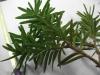 Taxus cuspidata (Japanese Yew)