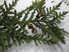 Thuja occidentalis (White Cedar)