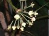 Trevesia sundaica (Snowflake Aralia)