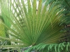Washingtonia filifera (Desert Fan Palm)