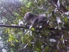 koala_sanctuary_brisbane034
