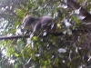 koala_sanctuary_brisbane035