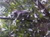 koala_sanctuary_brisbane036