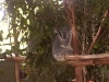 koala_sanctuary_brisbane040