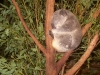 koala_sanctuary_brisbane045