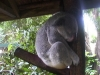 koala_sanctuary_brisbane047