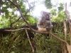 koala_sanctuary_brisbane126