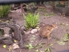koala_sanctuary_brisbane130