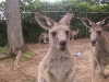 koala_sanctuary_brisbane168