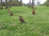 koala_sanctuary_brisbane172