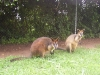 koala_sanctuary_brisbane184