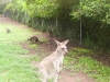koala_sanctuary_brisbane185