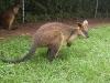 koala_sanctuary_brisbane189