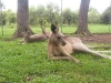 koala_sanctuary_brisbane205