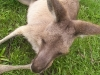 koala_sanctuary_brisbane207