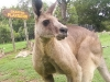 koala_sanctuary_brisbane212
