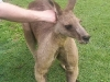 koala_sanctuary_brisbane216