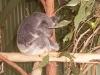 koala_sanctuary_brisbane324