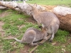 koala_sanctuary_brisbane335