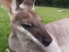 koala_sanctuary_brisbane341