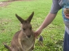 koala_sanctuary_brisbane356