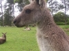 koala_sanctuary_brisbane370