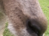 koala_sanctuary_brisbane376
