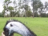 koala_sanctuary_brisbane389