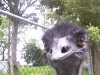 koala_sanctuary_brisbane448