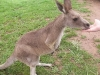 koala_sanctuary_brisbane473