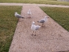 southbank-gulls-and-ibis02