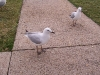 southbank-gulls-and-ibis03