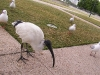 southbank-gulls-and-ibis17