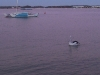 gold-coast-the-pelican003