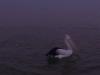 gold-coast-the-pelican021