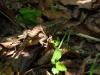sceloporous_undulatus_hyacinthus_07_female