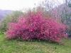 floweringquince1