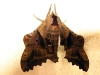 moth2a