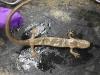 ambystoma_annulatum-ringed_salamander02