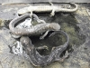 ambystoma_maculatum-spotted_salamander01