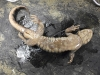 ambystoma_tigrinum-tiger_salamander02